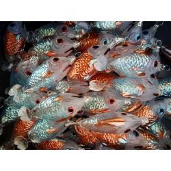 mundgeblasener Fisch